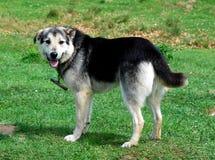 ρουμανικός ποιμένας σκυ&l Στοκ Εικόνα