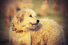 Ρουμανικό κυνηγόσκυλο προβάτων Στοκ Φωτογραφίες