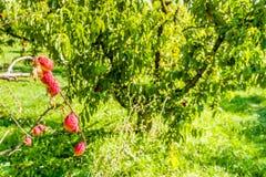 ροδάκινα που ωριμάζουν στον κλάδο στοκ φωτογραφία με δικαίωμα ελεύθερης χρήσης
