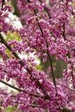 Ροδανιλίνης άνθη στοκ εικόνες