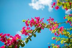 Ροδανιλίνης λουλούδια Bougainvillea στον κυανό ουρανό Στοκ Φωτογραφίες