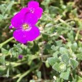 Ροδανιλίνης λουλούδι κάρδαμου βράχου Στοκ Εικόνα