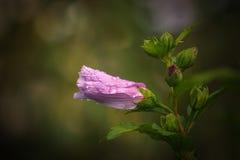 Ροδανιλίνης λουλούδι μετά από τη βροχή Στοκ Εικόνα
