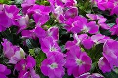 Ροδανιλίνης υπόβαθρο λουλουδιών Στοκ φωτογραφία με δικαίωμα ελεύθερης χρήσης