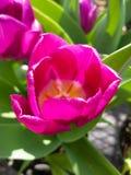 ροδανιλίνη λουλουδιών Στοκ εικόνα με δικαίωμα ελεύθερης χρήσης