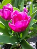 ροδανιλίνη λουλουδιών Στοκ φωτογραφία με δικαίωμα ελεύθερης χρήσης