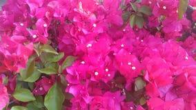 ροδανιλίνη λουλουδιών Στοκ Φωτογραφία