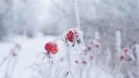 Ροδαλά ισχία στις νιφάδες παγετού και χιονιού Στοκ Εικόνα