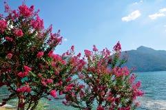 Ροδαλός θάμνος στην τράπεζα της λίμνης, Ελβετία στοκ εικόνα