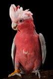 Ροδαλός-Cockatoo, Galah. στοκ εικόνα