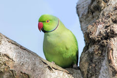 Ροδαλός-Ringed Parakeet στο δέντρο Krameri Psittacula Στοκ εικόνες με δικαίωμα ελεύθερης χρήσης