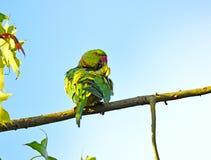 Ροδαλός-ringed parakeet, krameri Psittacula Στοκ Φωτογραφία