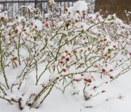 Ροδαλό ισχίο θάμνων κάτω από το χιόνι Στοκ εικόνα με δικαίωμα ελεύθερης χρήσης