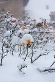 Ροδαλό ισχίο θάμνων κάτω από το χιόνι Στοκ εικόνες με δικαίωμα ελεύθερης χρήσης