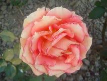 Ροδαλό Rosaceae Στοκ Φωτογραφίες