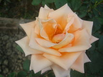 Ροδαλό Rosaceae Στοκ Εικόνα
