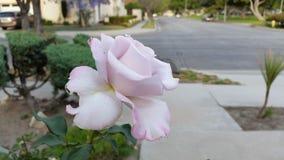 Ροδοειδές ροζ Στοκ φωτογραφία με δικαίωμα ελεύθερης χρήσης