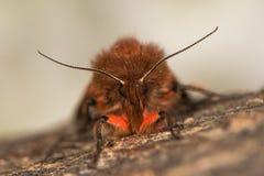 Ροδοκόκκινοι σκώρος & x28 τιγρών Phragmatobia fuliginosa& x29  μπροστινή άποψη Στοκ Εικόνες