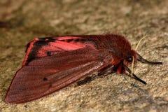 Ροδοκόκκινος σκώρος τιγρών (fuliginosa Phragmatobia) με τα κόκκινα hindwings vis Στοκ Εικόνες