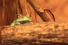 Ροδοκόκκινος-eyed treefrog Στοκ εικόνες με δικαίωμα ελεύθερης χρήσης