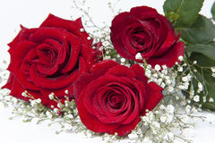 ρωμανικά τριαντάφυλλα στοκ φωτογραφία με δικαίωμα ελεύθερης χρήσης