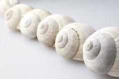 Ρωμαϊκά κοχύλια σαλιγκαριών στοκ εικόνα