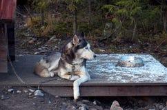 Ρωσία Ένα σκυλί της γεροδεμένης φυλής σε ένα ρείθρο σκυλιών 14 Νοεμβρίου 2017 Στοκ Φωτογραφία