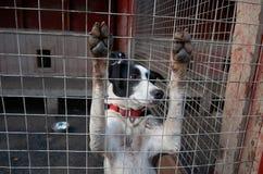 Ρωσία Ένα σκυλί της γεροδεμένης φυλής στο cattery ` Talvi Ukko ` σκυλιών 14 Νοεμβρίου 2017 Στοκ Εικόνα