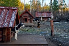 Ρωσία Ένα σκυλί της γεροδεμένης φυλής στο cattery ` Talvi Ukko ` σκυλιών 14 Νοεμβρίου 2017 Στοκ φωτογραφίες με δικαίωμα ελεύθερης χρήσης