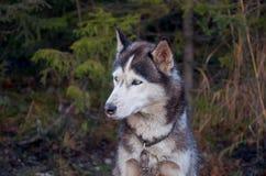 Ρωσία Ένα σκυλί της γεροδεμένης φυλής στο cattery ` Talvi Ukko ` σκυλιών 14 Νοεμβρίου 2017 Στοκ Φωτογραφίες