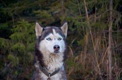 Ρωσία Ένα σκυλί της γεροδεμένης φυλής στο cattery ` Talvi Ukko ` σκυλιών 14 Νοεμβρίου 2017 Στοκ εικόνες με δικαίωμα ελεύθερης χρήσης