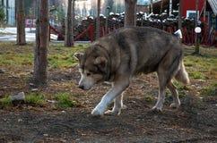 Ρωσία Ένα σκυλί της φυλής από την Αλάσκα Malamute στο cattery ` Talvi Ukko ` σκυλιών 14 Νοεμβρίου 2017 Στοκ Φωτογραφίες