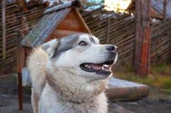 Ρωσία Ένα σκυλί της φυλής από την Αλάσκα Malamute στο cattery ` Talvi Ukko ` σκυλιών 14 Νοεμβρίου 2017 Στοκ Εικόνα