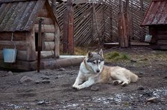 Ρωσία Ένα σκυλί της φυλής από την Αλάσκα Malamute στο cattery ` Talvi Ukko ` σκυλιών 14 Νοεμβρίου 2017 Στοκ φωτογραφία με δικαίωμα ελεύθερης χρήσης