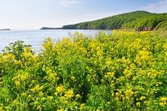Ρωσία, Βλαδιβοστόκ, κίτρινα λουλούδια σε ένας από τους κόλπους στο νησί Shkot τον Ιούνιο στοκ εικόνα