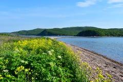 Ρωσία, Βλαδιβοστόκ, κίτρινα λουλούδια Barbarea σε ένας από τους κόλπους στο νησί Shkot τον Ιούνιο Κόλπος νέο Dzhigit στοκ εικόνες με δικαίωμα ελεύθερης χρήσης