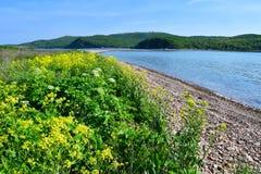Ρωσία, Βλαδιβοστόκ, κίτρινα λουλούδια Barbarea σε ένας από τους κόλπους στο νησί Shkot τον Ιούνιο Κόλπος νέο Dzhigit στοκ φωτογραφία