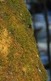 Ρωσία πράσινο βρύο σε ένα παλαιό ξύλινο κολόβωμα Στοκ εικόνες με δικαίωμα ελεύθερης χρήσης