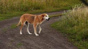 Ρωσικά τρεξίματα κυνηγόσκυλων στο δρόμο απόθεμα βίντεο