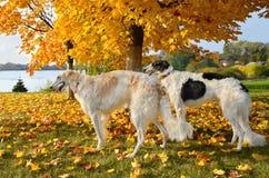 Ρωσικά wolfhounds Στοκ Φωτογραφίες