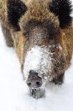ρωσικές άγρια περιοχές voronezh φύσης κάπρων περιοχής Στοκ Εικόνες