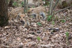 ρωσικές άγρια περιοχές voronezh φύσης κάπρων περιοχής Στοκ Φωτογραφίες