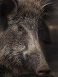 ρωσικές άγρια περιοχές voronezh φύσης κάπρων περιοχής Στοκ φωτογραφίες με δικαίωμα ελεύθερης χρήσης