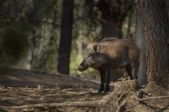 ρωσικές άγρια περιοχές voronezh φύσης κάπρων περιοχής Στοκ Εικόνα