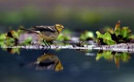 ρωσική αγριότητα wagtail φύσης περιοχής κίτρινη Στοκ φωτογραφία με δικαίωμα ελεύθερης χρήσης