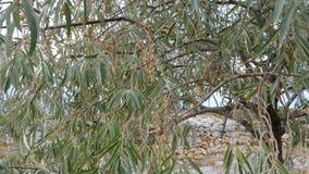 Ρωσική ελιά angustifolia Elaeagnus απόθεμα βίντεο