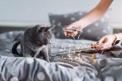 Ρωσική μπλε γάτα με τα φω'τα Χριστουγέννων, εκλεκτική εστίαση Παιχνίδι γιρλαντών εκμετάλλευσης γυναικών με τη γάτα στο κρεβάτι Στοκ Εικόνες