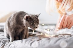 Ρωσική μπλε γάτα με τα φω'τα Χριστουγέννων, εκλεκτική εστίαση Παιχνίδι γιρλαντών εκμετάλλευσης γυναικών με τη γάτα στο κρεβάτι Στοκ εικόνες με δικαίωμα ελεύθερης χρήσης