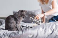 Ρωσική μπλε γάτα με τα φω'τα Χριστουγέννων, εκλεκτική εστίαση Παιχνίδι γιρλαντών εκμετάλλευσης γυναικών με τη γάτα στο κρεβάτι Στοκ φωτογραφία με δικαίωμα ελεύθερης χρήσης