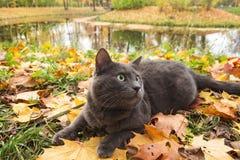 Ρωσική μπλε γάτα υπαίθρια στοκ φωτογραφία με δικαίωμα ελεύθερης χρήσης